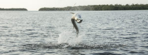 Jumping tarpon on fly in the Everglades