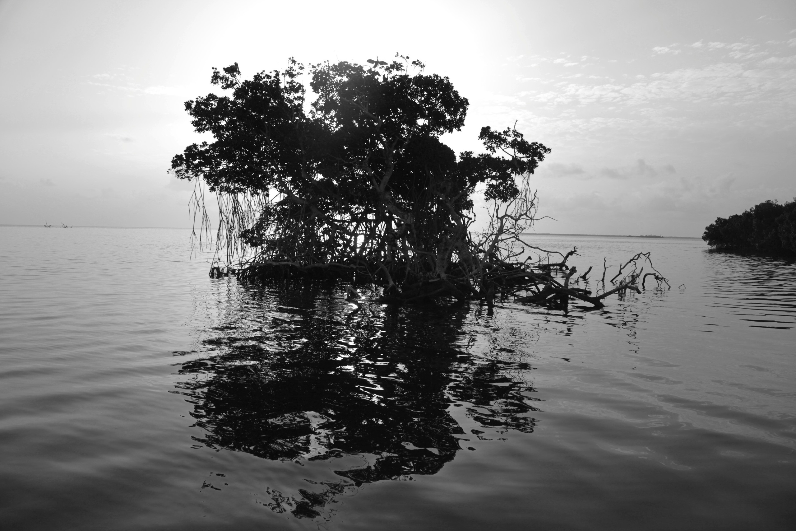 Silhouette of a mangrove in the Florida keys backcountry.